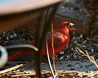 Male Northern Cardinal. Image taken with a Nikon D5 camera and 600 mm f/4 VR lens