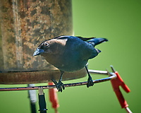 Male Brown-headed Cowbird at the bird feeder. Image taken with a Nikon D5 camera and 600 mm f/4 VR lens (ISO 900, 600 mm, f/5.6, 1/1250 sec)