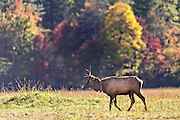 A bull elk during the fall rut in the Cataloochee Valley of the Great Smoky Mountains National Park in Cataloochee, North Carolina.