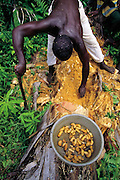 Joseph Kawunde, 56, collects the palm grubs, the larvae of the Capricorn beetle from dead palm trees and then cooks them with salt, curry, and yellow onions. Bweyogerere, Uganda. (Man Eating Bugs: The Art and Science of Eating Insects)