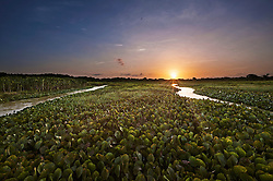 Sunset over Water Hyacinths growing in lake, Orinoco Delta, Venezuela