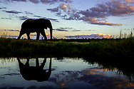 The Elephant Bull was walking along side the Chobe River at Sunset casting a beautiful reflection into the water.