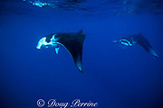 manta rays, Manta birostris, feeding on plankton,<br /> Nuku Hiva; Marquesas Islands, French Polynesia<br /> ( South Pacific Ocean )