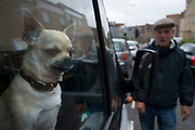 Chihuahua dog looking out of the window of his owners van in Hackney, East London, England, United Kingdom. The Chihuahua is the smallest breed of dogs and is named for the state of Chihuahua. Chihuahuas come in a wide variety of sizes, colors, and coat lengths.
