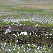 Snowy Owl (Bubo scandiacus) chick, almost to fledgling stage, in cotton grass. Barrow, Alaska