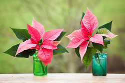 Trial to see whether poinsettias last longer in water after having their stems seared or burnt (burnt on left)