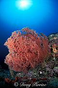 sea fan or gorgonian soft coral, <br /> Sipadan Island, off Borneo, Sabah, Malaysia,<br /> ( Celebes Sea )