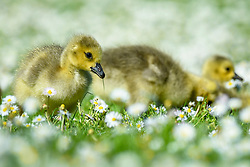 © Licensed to London News Pictures. 06/05/2020. Rickmansworth, UK.  Members of a large clutch of Canada Goose goslings sit amongst daisies during warm weather at Rickmansworth Aquadrome in the north west of the capital.  Wildlife has enjoyed the absence of humans around their environment during the ongoing coronavirus lockdown.  Photo credit: Stephen Chung/LNP