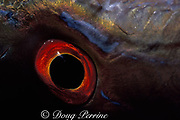 eye of mutton snapper or muttonfish,<br /> Lutjanus analis (c) <br /> Bahamas