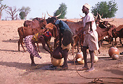 Life in the Sahel region of northern Nigeria, west Africa, early 1980s - water supply and cattle