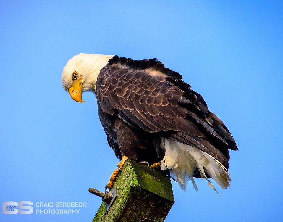 Bald Eagle photographed at Washburn Lane.