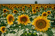Sunflowers as far as the eye can see.
