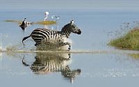 Grant's Zebra, Equus quagga boehmi, runs through shallow water at the edge of Lake Nakuru in Lake Nakuru National Park, Kenya