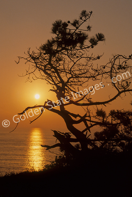 Sunset in Torrey Pines State Park with a famous Torrey Pine in silhouette<br /> <br /> Species: Pinus Torreyana