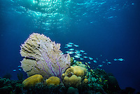 Evening light on this reef provides a beautiful backdrop to this lovely sea fan. Taken on assignment during the Bahamas Underwater Photo week 2014.