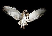 Barn owl bringing prey back to chicks