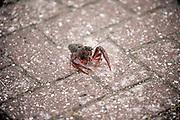 Nederland, Beuningen, 27-6-2020 De rode rivierkreeft is een kreeft uit de zuidoostelijke Verenigde Staten en Mexico, die leeft in zoet water. Vaak wordt de soort aangeduid met Amerikaanse rivierkreeft, maar die naam is ook in gebruik voor enkele andere soorten van het geslacht Procambarus. Het dier is berucht, want het kan de gevaarlijke kreeftenpest overbrengen. Dit gaat ten koste van de inheemse soorten, zoals de Europese zoetwaterkreeft, die hiertegen niet bestand zijn.Het is een invasieve exoot .Foto: Flip Franssen