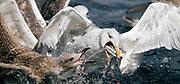 Herring Gulls (Larus argentatus) fight for the food.