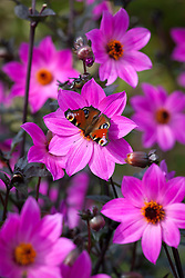 Butterfly on Dahlia 'Magenta Star'