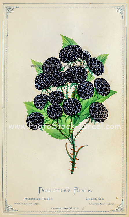 Doolittle's Black from Dewey's Pocket Series ' The nurseryman's pocket specimen book : colored from nature : fruits, flowers, ornamental trees, shrubs, roses, &c by Dewey, D. M. (Dellon Marcus), 1819-1889, publisher; Mason, S.F Published in Rochester, NY by D.M. Dewey in 1872