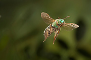 A native green bee (Andrena ilicis) in flight, Texas.