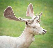 Bushy Park deer 1st July 2020