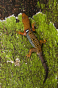 O'Shaughnessy's Gecko (Gonatodes concinnatus) Diurnal dwarf gecko<br /> Napo River bordering Yasuni National Park, Amazon Rainforest<br /> ECUADOR. South America<br /> RANGE: Central America, a few Caribbean Islands and the northern part of South America, including Peru, Colombia, Ecuador, Guyana, French Guiana, Suriname, parts of Brazil, Venezuela and the islands of Trinidad and Tobago.