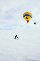 """Dung beetle tipped forward as if """"mooning"""" hot air balloon in distance, White Sands National Monument, New Mexico, USA."""