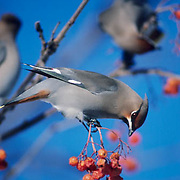 Bohemian Waxwing (Bombycilla garruius).  A lone bird sits on a  branch of a Mountain Ash tree,  feeding on berries.