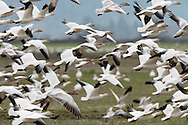 Snow Goose (Chen caerulescens) flock flying at Fir Island, Skagit River delta, Puget Sound, Washington, USA