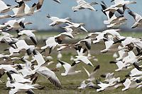Snow Goose (Chen caerulescens) flock flying at Fir Island, Skagit River delta, Puget Sound, Washington, USA