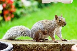 A Grey Squirrel (Scientific name Sciurus Carolinensison) makes its way along a garden wall in a British Suburban Garden<br /> <br />  Copyright Paul David Drabble<br />  29 September 2019<br />  www.pauldaviddrabble.co.uk