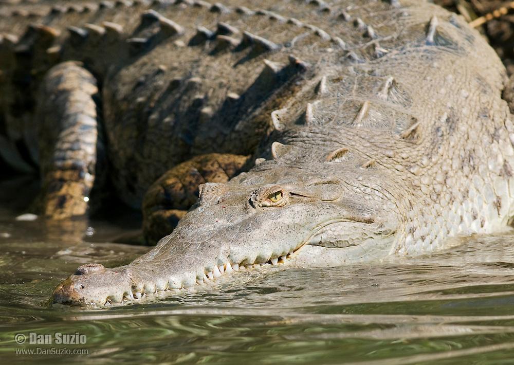 American crocodile, Crocodylus acutus, entering the water at the edge of the Tarcoles River, Costa Rica