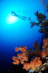 Dendronephthya klunzingeri, Stachelige Prachtkoralle und Taucher, Orange Weichkoralle, Korallenriff, scuba diver with colorful coral reef and soft corals, Bali, Indonesien, Indopazifik, Bali, Indonesia Asien, Indo-Pacific Ocean, Asia