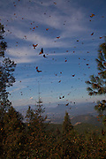 Monarch Butterflies mass high up in the Sierra Pellon mountain at the Monarch Butterfly Biosphere Reserve in Sierra Pellon central Mexico in Michoacan State. Each year hundreds of millions Monarch butterflies mass migrate from the U.S. and Canada to Oyamel fir forests in the volcanic highlands of central Mexico. North American monarchs are the only butterflies that make such a massive journey—up to 3,000 miles (4,828 kilometers).