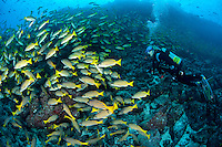 A Diver observes a huge school of Snappers<br /> <br /> <br /> Shot at Cocos Island, Costa Rica