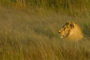 Youn male lion, Serengeti National Park, Tanzania.