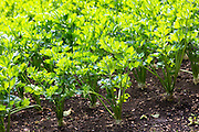Celeriac, Apium graveolens, in organic vegetable garden in Oxfordshire UK