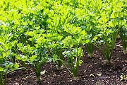 Celeriac, Apium graveolens, in organic vegetable garden in Oxfordshire UK
