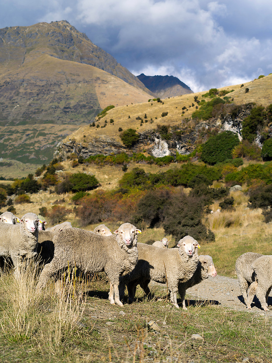 Sheep from the Walter Peak Station, surrounded by mountains and set off by clouds and blue sky on an autumn day.