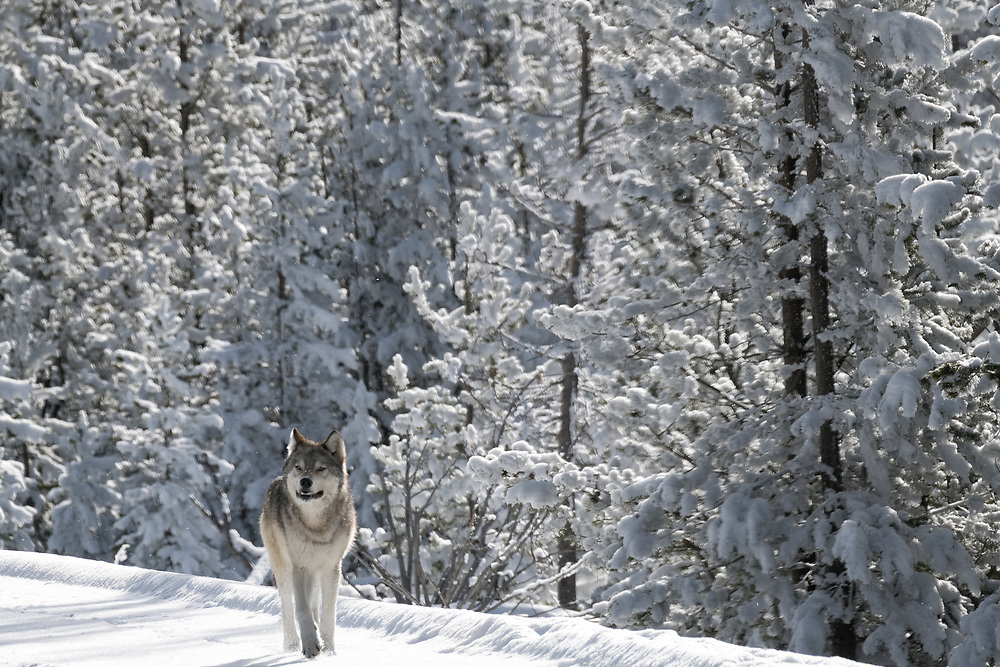 A lone wolf walks along a road during the winter in Yellowstone
