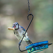 Juvenile blue jay (Cyanocitta cristata) swinging on treat bowl after snagging a nut.  Peanuts (unsalted, please) in the shell are a favorite treat of blue jays who frequent backyard feeders.