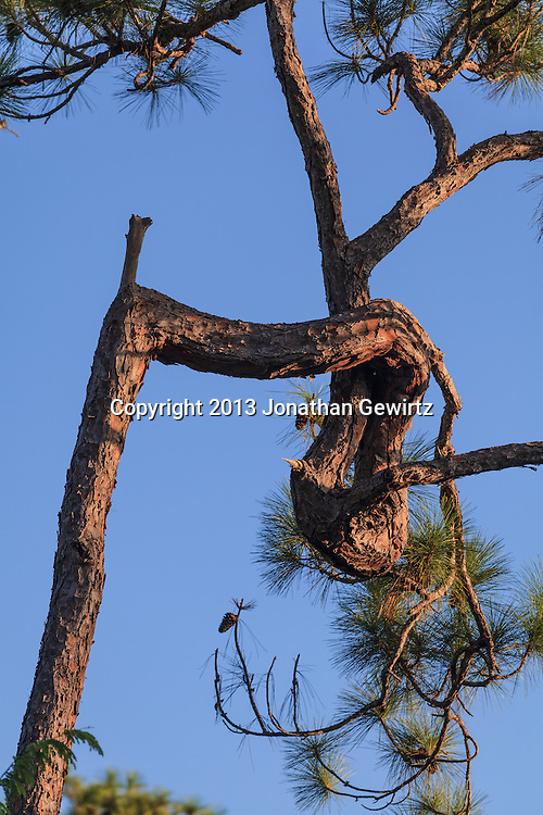 The convoluted trunk of a slash pine tree in Everglades National Park, Florida. WATERMARKS WILL NOT APPEAR ON PRINTS OR LICENSED IMAGES.