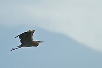 Flying Great Blue Heron (Ardea herodias fannini) at the Hood Canal of Puget Sound, Washington state, USA panorama