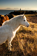 Wild Welsh Mountain Ponies roaming free on Llanddwyn Island, a tiny tide separated island off the West coast of Anglesey. An old light house in the background is now a navigational mark and the mountains of the Llyn Peninsula on the Welsh mainland can be seen in the far distace