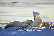 01874-06307 Polar Bear (Ursus maritimus) female nursing cub  Churchill MB