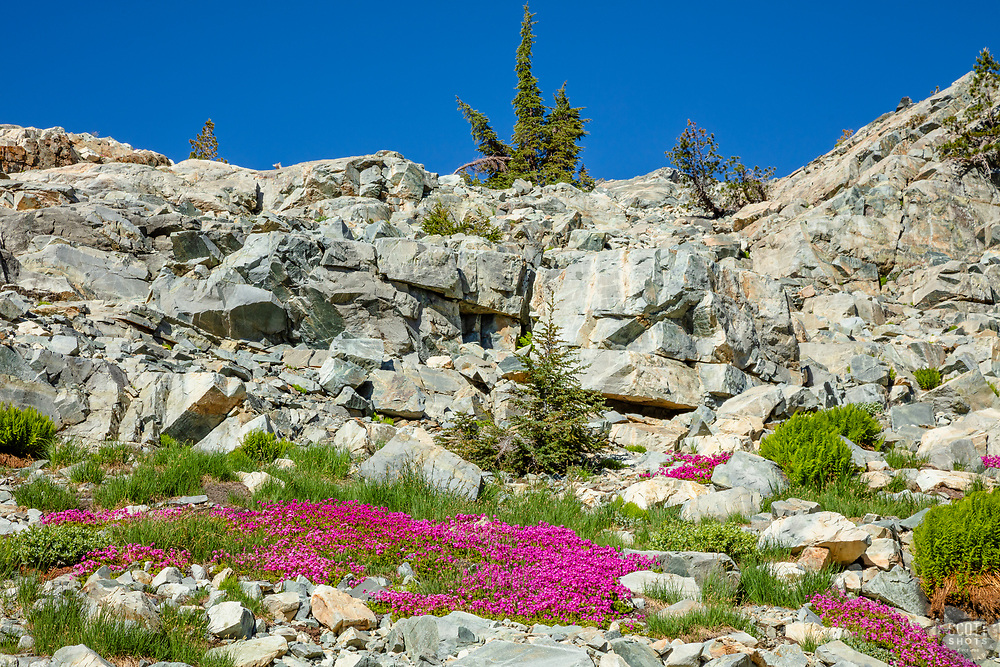"""""""Wildflowers in the Tahoe Back Country 1"""" - Photograph of some bright wildflowers in the Tahoe area back country, somewhat near Jackson Meadows."""