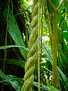 Intertwined vines in the rainforest near Manzanillo, Limon, Costa Rica.
