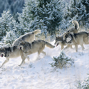 Gray Wolf (Canis lupus) pack in the Rocky Mountains of Montana. Captive Animal