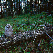 great gray owl chick fledged on fallen log in timber.